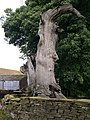 The remains of the giant oak tree in the garden at Gunthwaite Hall - geograph.org.uk - 935746.jpg