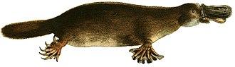 Mammal - Ornithorhynchus anatinus