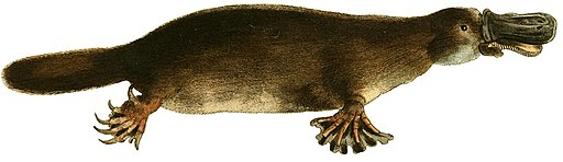 The zoological miscellany (platypus)