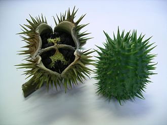 Datura stramonium - Mature (left) and immature (right) seed pods