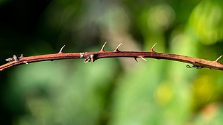 Thorns, spines, and prickles
