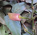 Thunbergia grandiflora 05.JPG