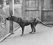 "The last known Thylacine photographed at Hobart (formerly Beaumaris) Zoo in 1933. A scrotal sac is not visible in this or any other of the photos or film taken, leading to the supposition that ""Benjamin"" was a female, but the existence of a scrotal pouch in the Thylacine makes it impossible to be certain."