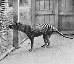 Une des dernières photographies connues d'une thylacine, au zoo de Hobart, en 1933. Cet animal est mort 3 ans plus tard, en 1936, entraînant la disparition de l'espèce.