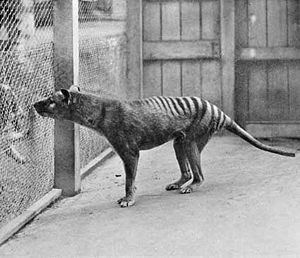 Tasmanian Tiger (Thylacine) photographed at th...