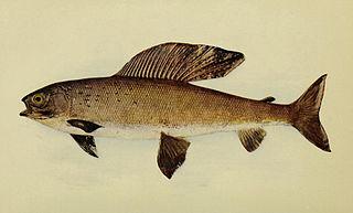 Montana Arctic grayling subspecies of fish