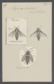 Thynnus - Print - Iconographia Zoologica - Special Collections University of Amsterdam - UBAINV0274 043 03 0002.tif