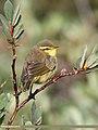 Tickell's Leaf Warbler (Phylloscopus affinis) (39760405771).jpg