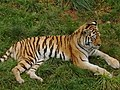 Tiger at South Lakes Wild Animal Park - geograph.org.uk - 1007177.jpg