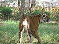 Tiger in Mysore zoo.jpg