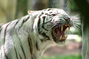 Carnivore - This Bengal tiger's sharp teeth and strong jaws are the classical physical traits expected from carnivorous mammalian predators.