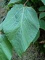 Tilia mexicana leaf.jpg
