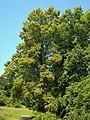 Tilia platyphyllos 003.jpg