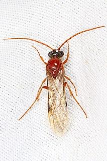 Brachycistidinae