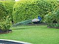 Tivoli - Indian peafowl 01.JPG