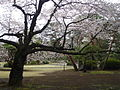 Tokyo cherry blossom 2.jpg