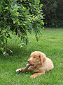 Toller 12weeks old.jpg