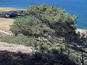 Torrey pine - A Torrey pine on the northeast coast of Santa Rosa Island, California