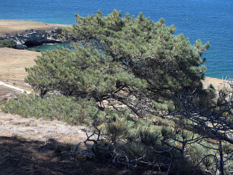 Torrey pine - A Torrey pine on the northeast coast of Santa Rosa Island, California