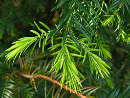Torreya californica branch PAN 03.JPG