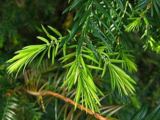 Torreya californica - Torreya californica, with young shoots, PAN Botanical Garden, Warsaw, Poland