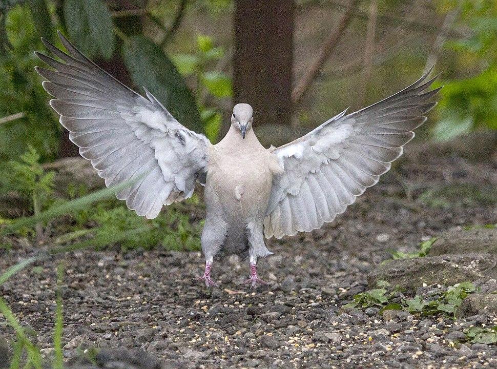 Touchdown (pigeon)