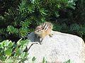 Townsend's chipmunk, Tamias townsendii - Flickr - GregTheBusker.jpg
