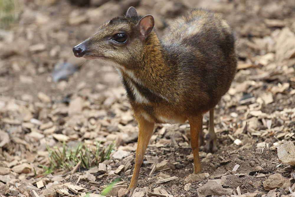 The average litter size of a Java mouse-deer is 1
