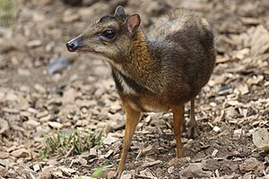 Java mouse-deer - Java mouse-deer at the Jerusalem Zoo