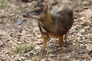 Java mouse-deer species of mammal