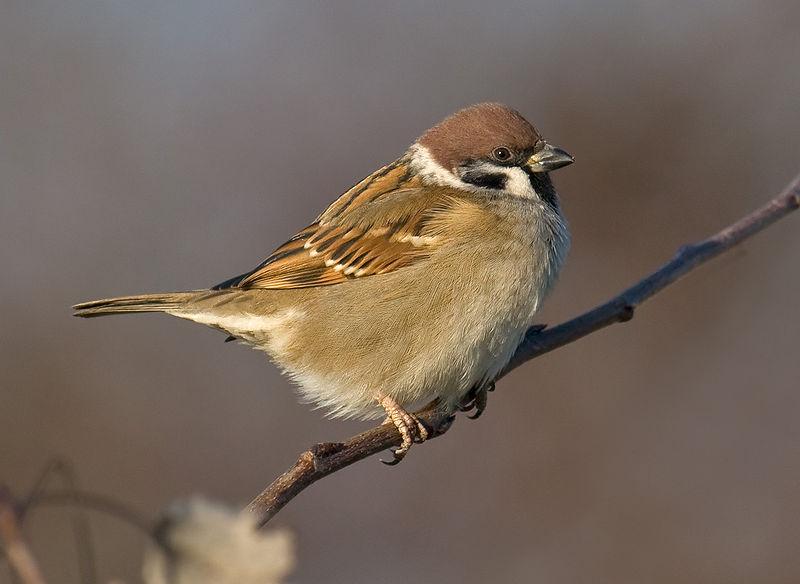 File:Tree-Sparrow.jpg