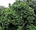 Tree I IMG 9212.jpg