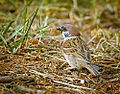 Tree sparrow (19887904006).jpg
