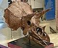 Triceratops ROM Toronto.jpg