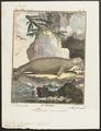 Trichechus rosmarus - 1700-1880 - Print - Iconographia Zoologica - Special Collections University of Amsterdam - UBA01 IZ21100019.tif