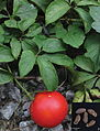 Trichosanthes napoiensis and Trichosanthes pedata habit and seeds (Trichosanthes napoiensis A B).jpg