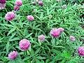 Trifolium alpestre.jpg
