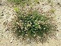 Trifolium arvense (subsp. arvense) sl25.jpg