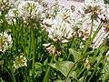 Trifolium repens (5155177104).jpg