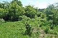 Trisetum flavescens kz07.jpg