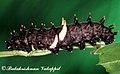 Troides minos caterpillar 2011 06 30 6844 Balakrishnan Valappil (6085987110).jpg