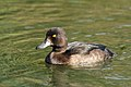 Tufted Duck (8013144992).jpg