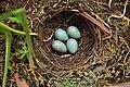 Turdus rufiventris -Sao Paulo, Brazil -eggs in nest-8.jpg