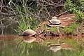 Turtles in Mlilwane Wildlife Sanctuary.jpg
