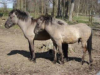 Heck horse Horse breed
