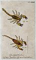 Two scorpions; Opistophthalmus pilosus and Opistophthalmus m Wellcome V0022407EL.jpg