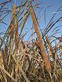 Typha austro-orientalis 2.jpg