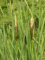 Typha latifolia (3820279211).jpg