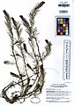 UC1755383 Myriophyllum sibiricum (5547563873).jpg