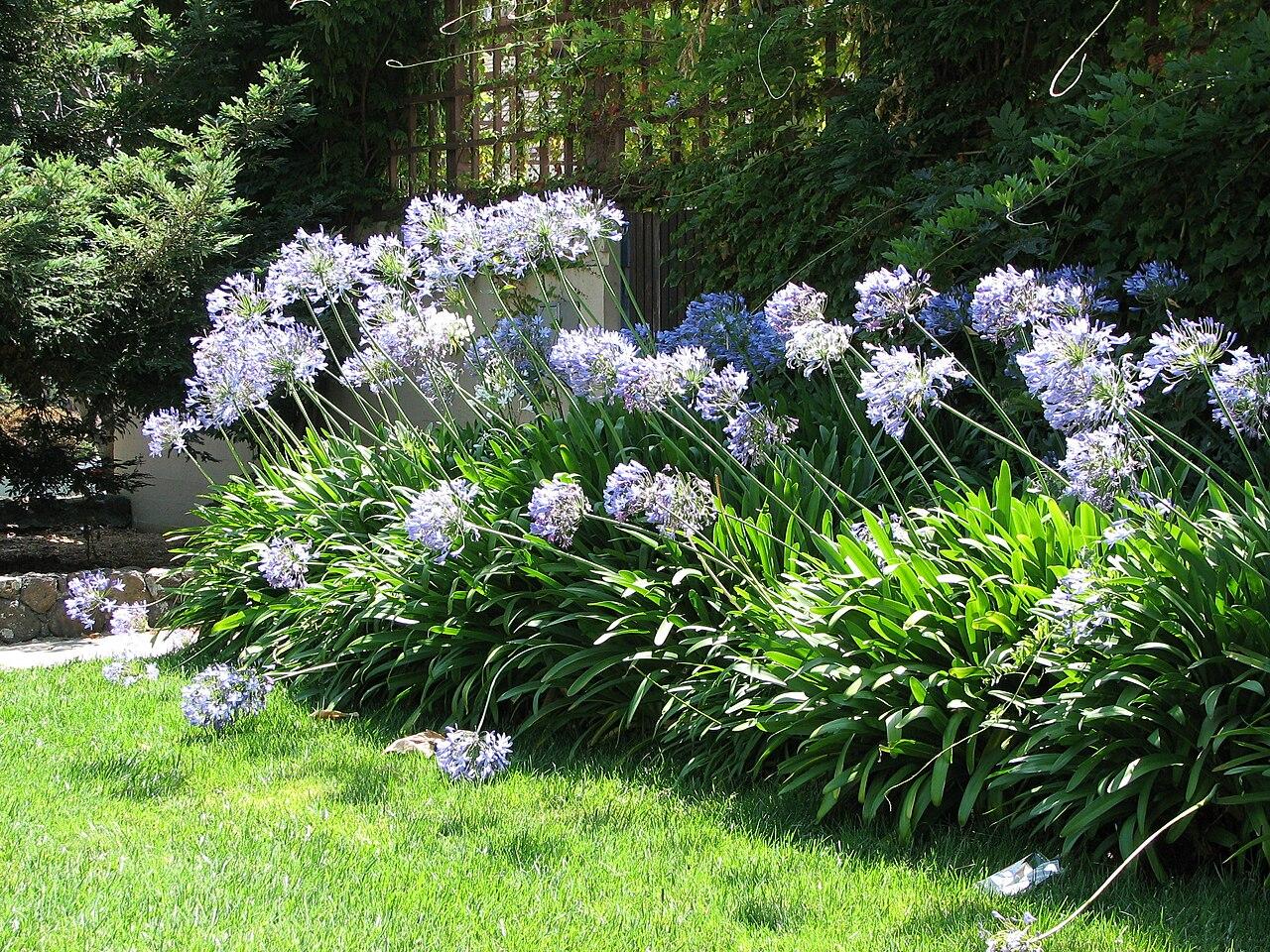 File ucb agapanthus habit jpg wikimedia commons for Arreglar un jardin abandonado